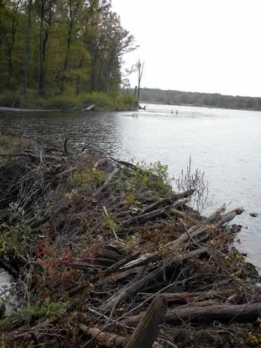 beaver dam on Timberbrook Pond