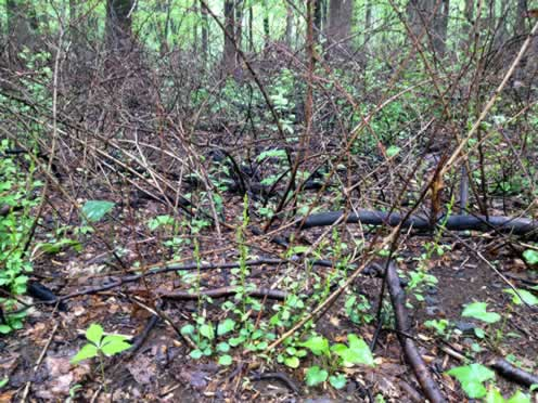 controlled burn area with new growth