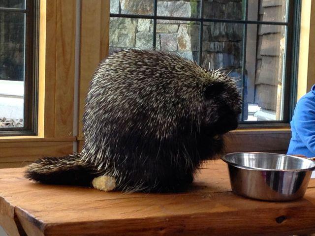 porcupine-wild-ctr