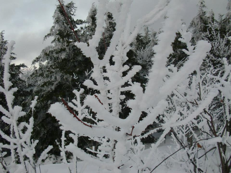 Rime on tree branch